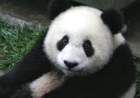 Čína zachraňuje pandy. Jak?